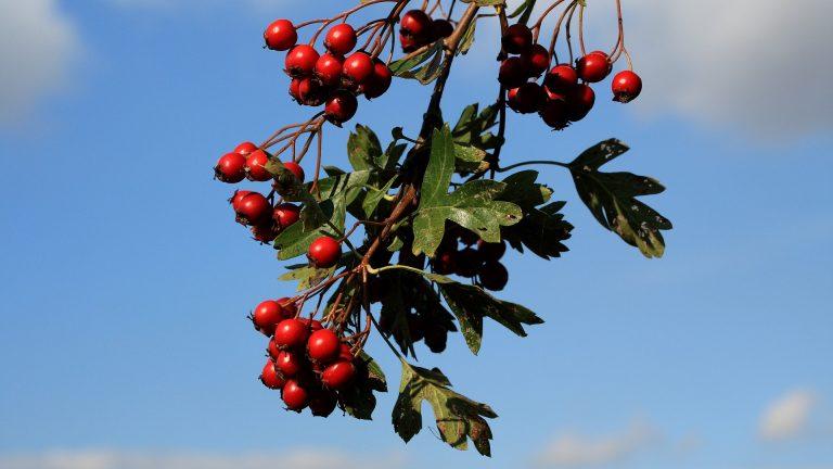 Bewoners Beusichem, Zoelmond en Ravenswaaij planten streekeigen bomen en struiken